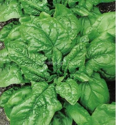Шпинат повар миша выращивание 15