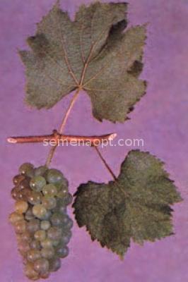 国画葡萄圆型图