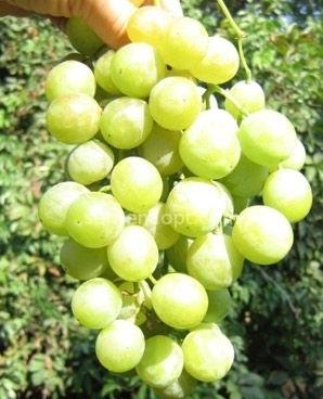 Виноград Фуршетный (описание, характеристика, фото, видео)