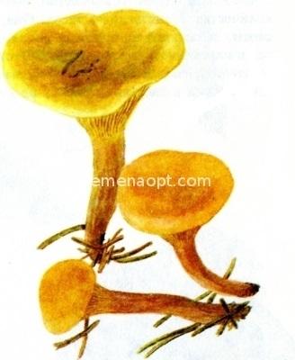 Грибы виды грибов лисичка ложная