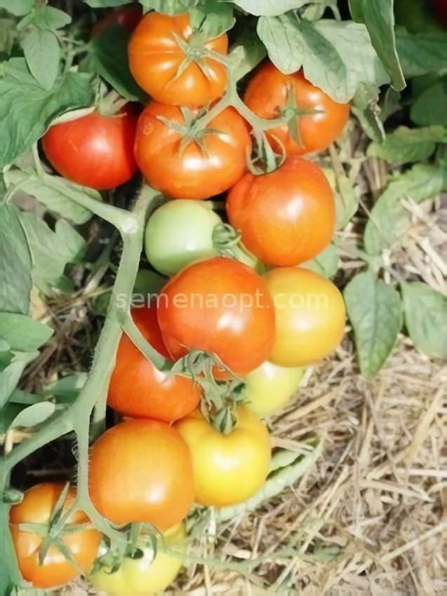 томаты аврора f1 фото