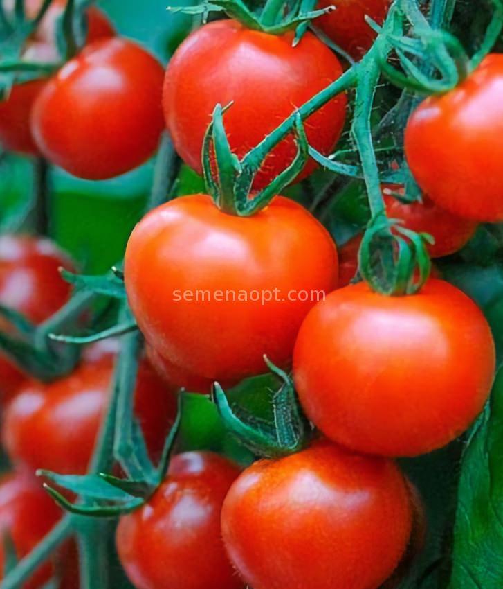 tomaten bella detaillierte beschreibung fotos anbau kaufen. Black Bedroom Furniture Sets. Home Design Ideas
