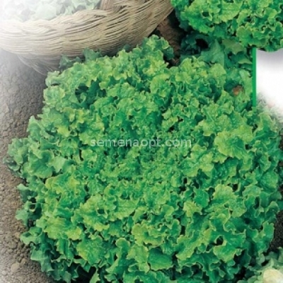 salat schneeflocke detaillierte beschreibung fotos anbau kaufen. Black Bedroom Furniture Sets. Home Design Ideas