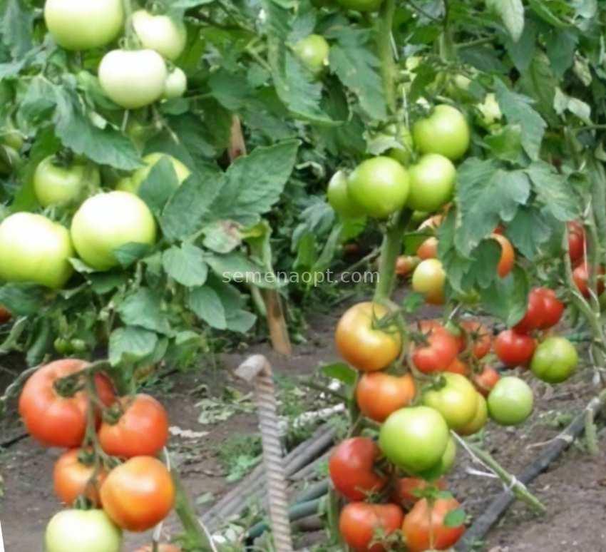 Tomato Bonsai Kibits Vegetable Plants 100 PCS Seeds Free Shipping Easy To Grow N